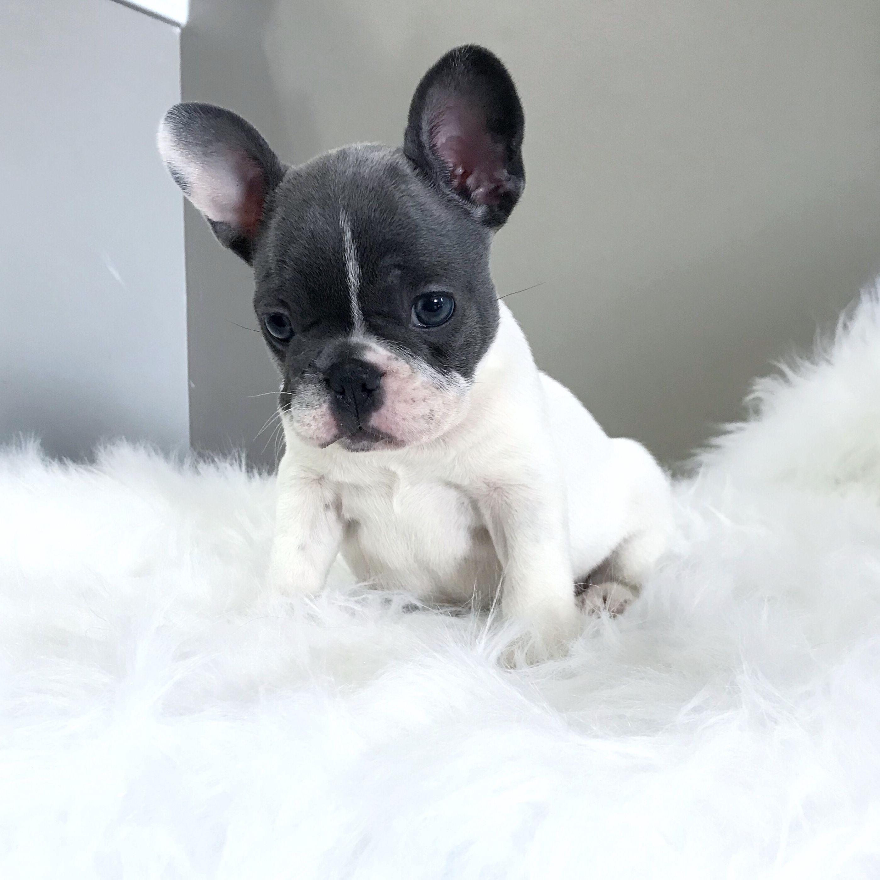 Pin By Ashley Darr On Darr S Bullies Bulldog Puppies French