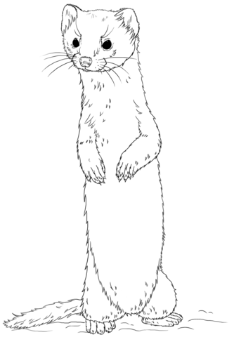 Longtailed weasel standing Coloring page from Weasels