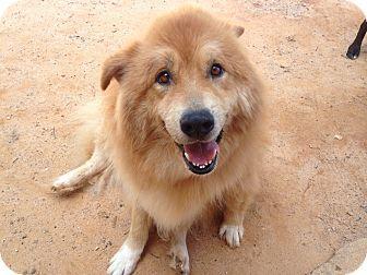 10 23 14 Greenville Sc Samoyed Golden Retriever Mix Meet Bogart A Dog For Adoption Http