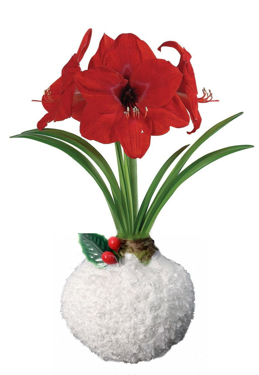 Coconut Snow Glitter Wax Amaryllis Bulb Holly No Soil Water Needed To Bloom Hirt S Gardens Amaryllis Bulbs Amaryllis Bloom