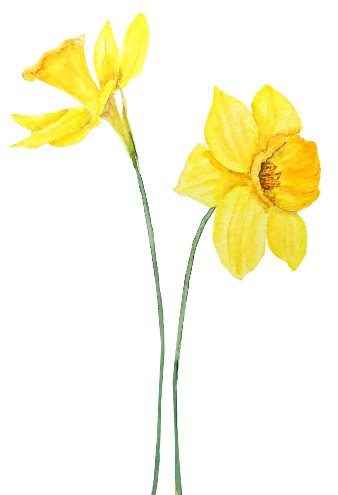 Two Botanical Yellow Daffodils Watercolor Hand Bath Towel By Color And Color Hand Towel In 2020 Daffodils Daffodil Tattoo Yellow Daffodils