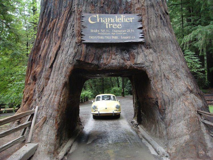 California's Drive-Through Chandelier tree is a coastal ...