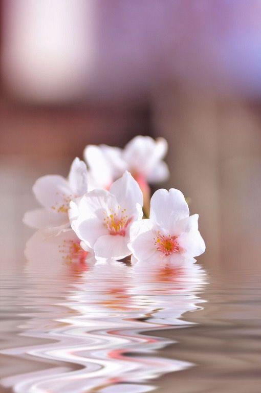 Spin Sakura Flower Beautiful Flowers Sakura Cherry Blossom