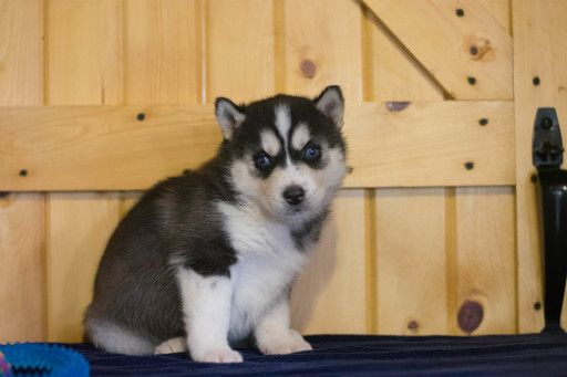 Siberian Husky Puppy For Sale In Cuyahoga Falls Oh Adn 71107 On