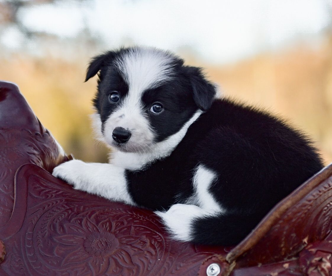 Adorable And Sweet Little Black And White Border Collie Puppy Come Ride Away With Me Maremma Sheepdog Puppy Puppies Collie Puppies For Sale