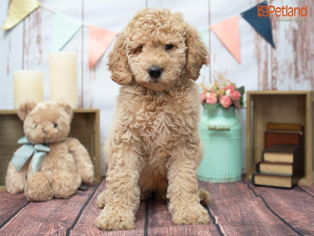 Petland Florida has Goldendoodle 2nd Gen puppies for sale