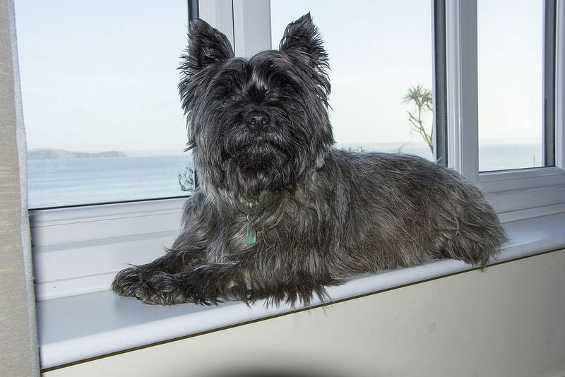 Cairn Terrier I Don T Like Most Little Dogs Much But This