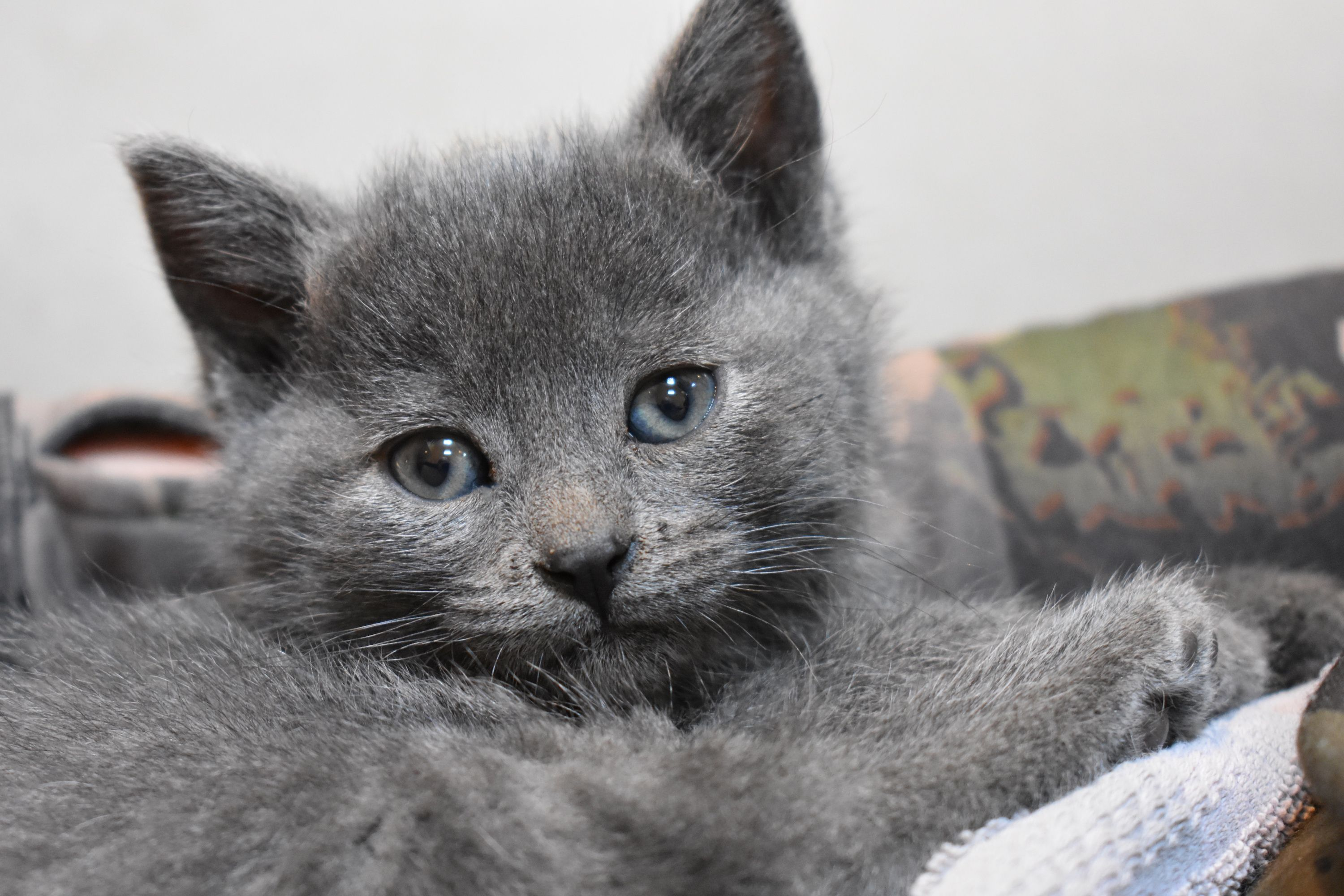 Delightful Discover The Russian Blue Cats Ideas Russian Blue Cat Russian Blue Blue Cats