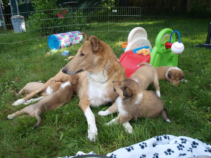 All Things Collie Smooth And Rough Collie Puppies And Their Mom
