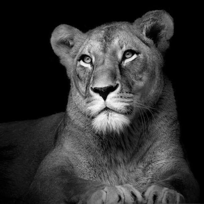 Connu Ces portraits d'animaux en noir et blanc sont superbes | images  IW32