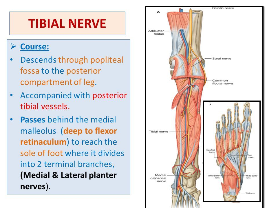 Tibial Nerve : Course, Motor & Sensory Innervation » How ...