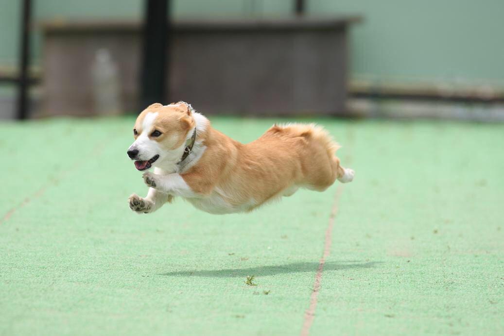 飛行犬 Flying Dog 犬 コーギー 飛行