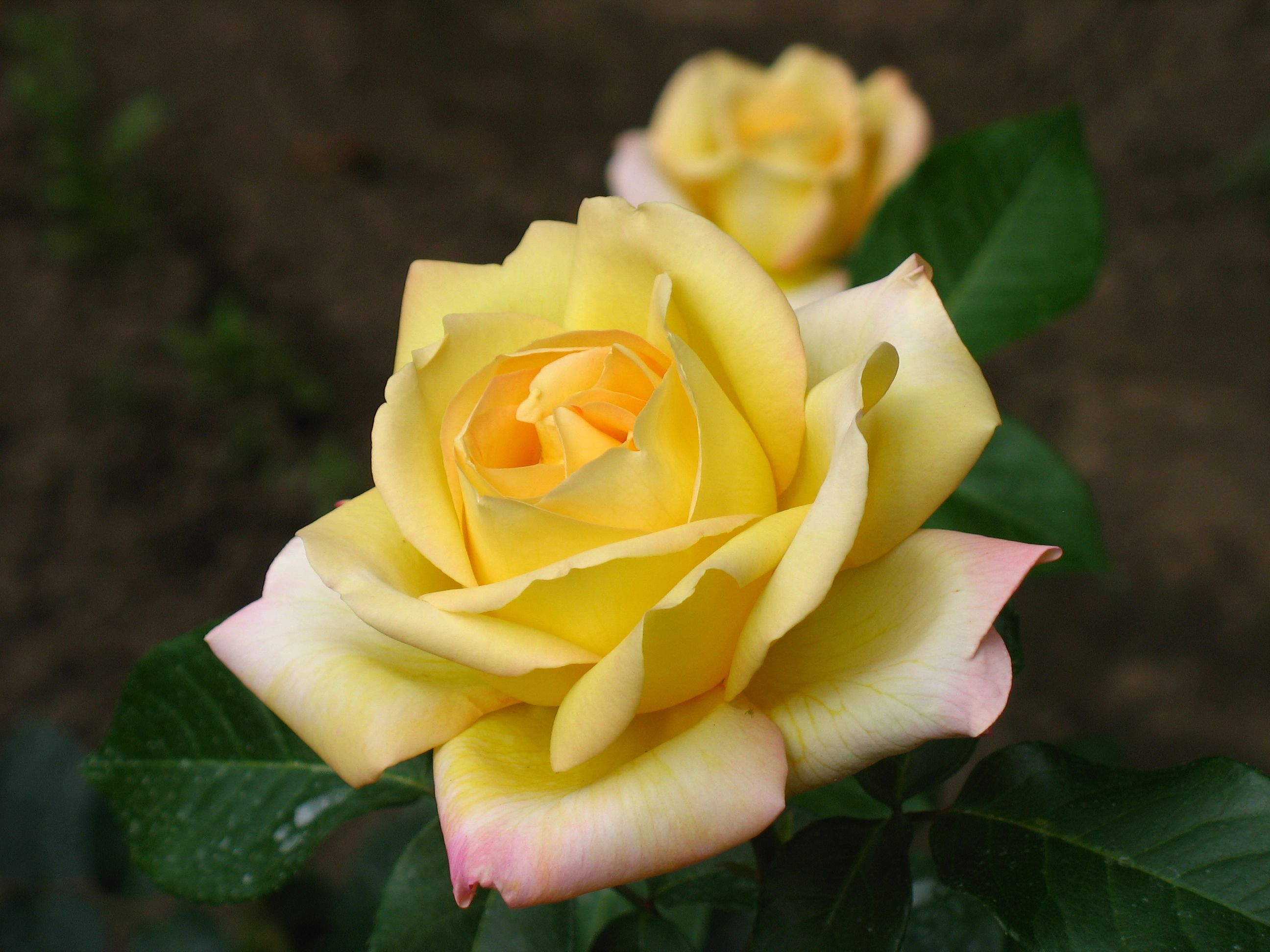 17 best geel rose images on pinterest flowers yellow roses and beautiful yellow roses 4g 25921944 dhlflorist Image collections