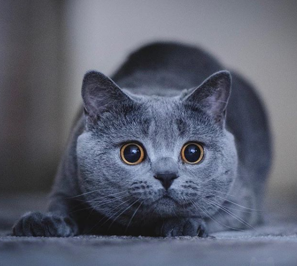 Is That Bird Inside Of Outside Of The Window In 2020 British Shorthair Kittens British Shorthair British Shorthair Cats