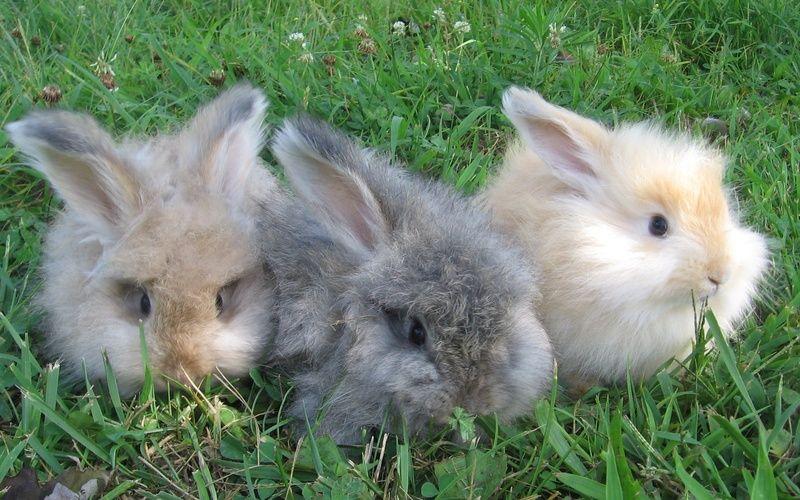 Cute baby angora rabbits