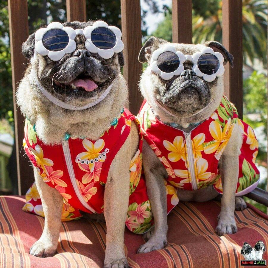 Pugs In Sunglasses Pugs Funny Cute Pugs Baby Pugs