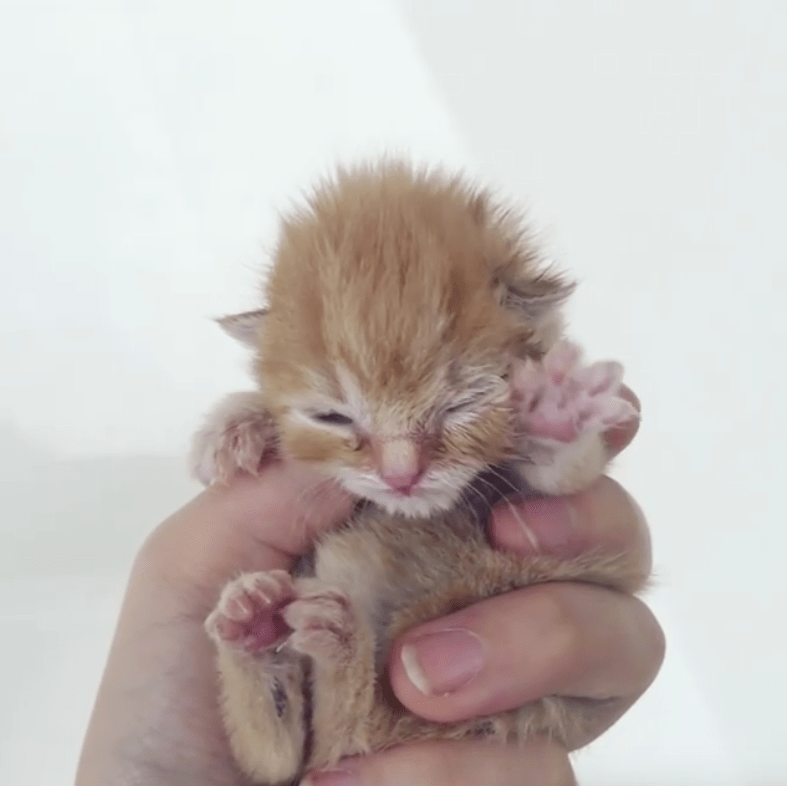 A Palm Sized Orphaned Kitten Found Herself In A Tissue Box At A Pet Supply Store Squeaking For Her Mother A Rescuer Rushed Tiny Kitten Newborn Kittens Kitten