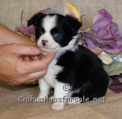 Damarcus Black And White Long Coat Chihuahua At 5 Weeks Of Age
