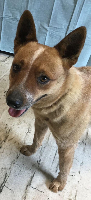PEPPER, adoptable Dog, Adult Female Australian Cattle Dog