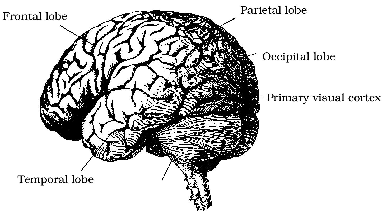 Parts Of The Brain Black And White Foundations Of Vision ...