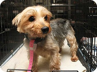 Fort Madison Ia Yorkie Yorkshire Terrier Mix Meet Dance A Dog For Adoption Homeless Pets Kitten Adoption Pets