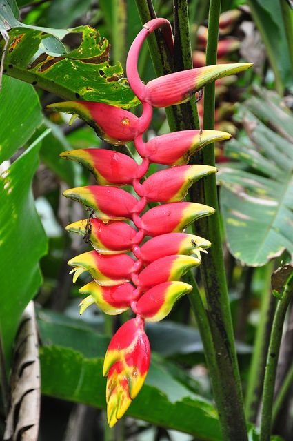 Lobster claw in Amazon rainforest | Rainforest flowers ... on