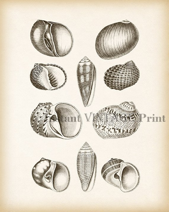 Shell decor, Shell wall art, Antique shell print, Nautical prints,  Illustration vintage, Instant dow | Nautical prints, Art, Printable art