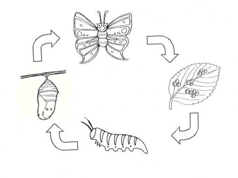 Life Cycle Of A Butterfly Coloring Page Supercoloring Com Schmetterling Lebenszyklus Schmetterling Lebenszyklen