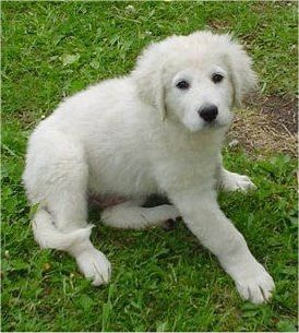A Kuvasz Puppy Just Discovered This Adorable Little Baby D