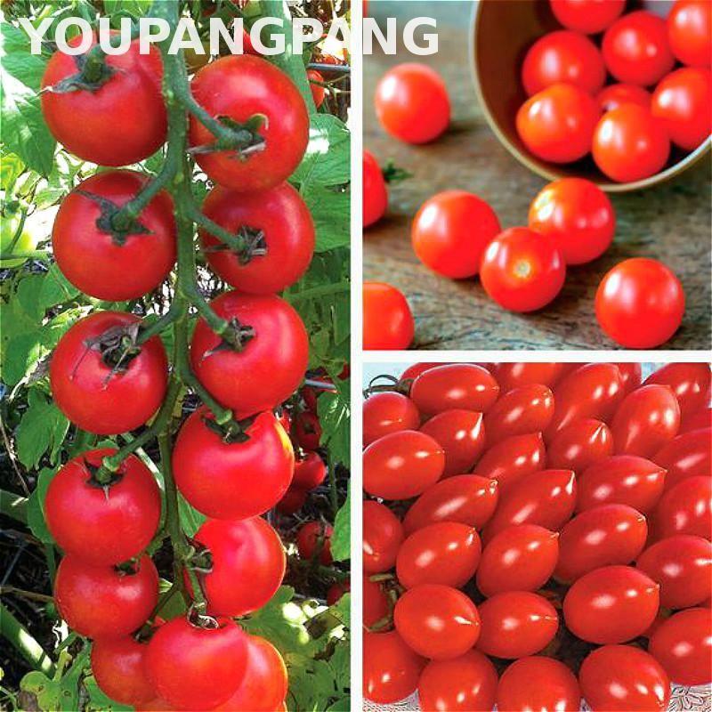 Cherry Tomat Biji Buah Sayuran Organik Biji Tomat Langka Bonsai Tanaman Biji No Transgenik Dan Lezat Untuk Organic Tomato Seeds Bonsai Plants Vegetable Seed