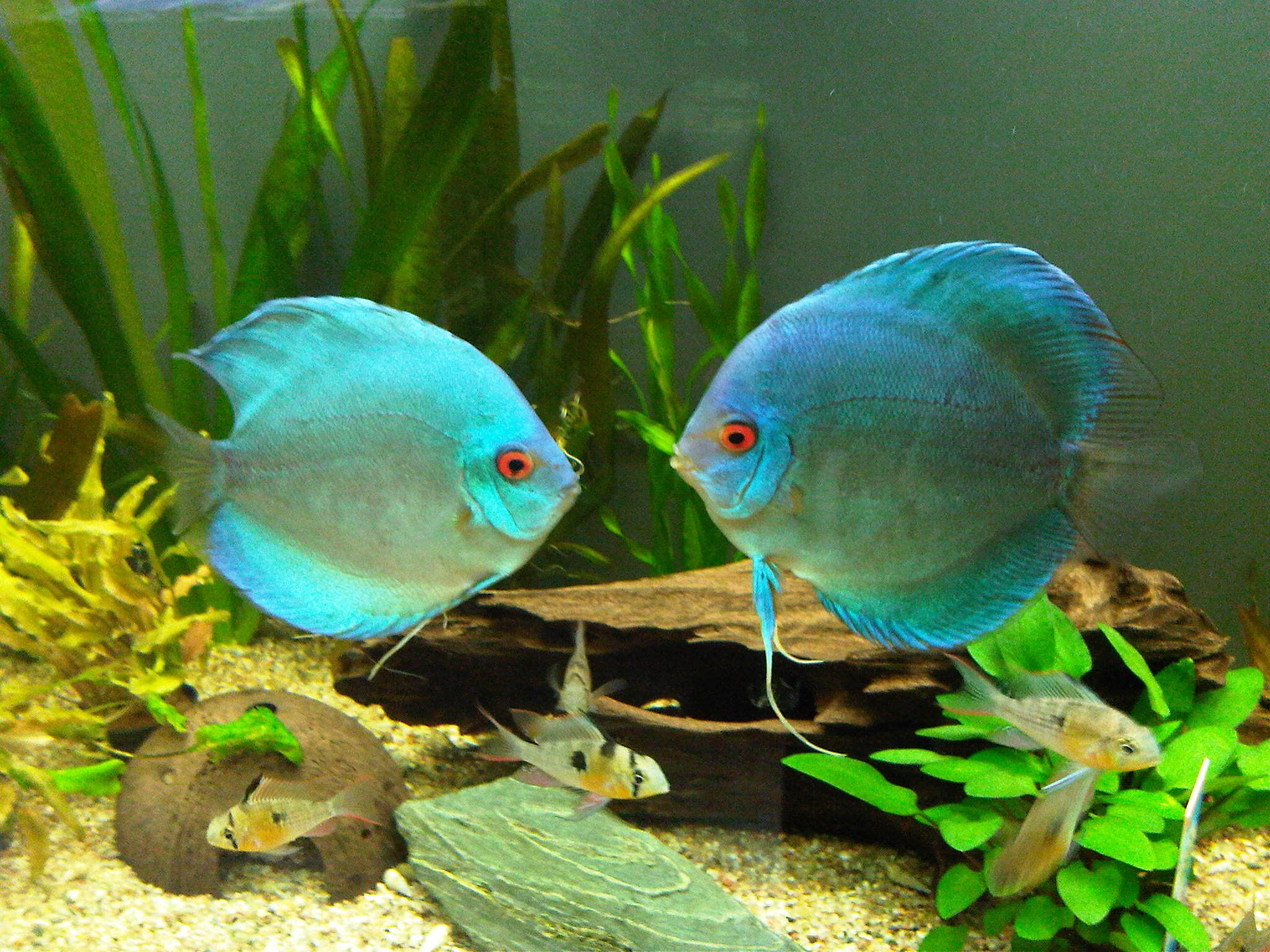 Freshwater aquarium fish guide - Blue Discus Freshwater Aquarium Fish Guide Here