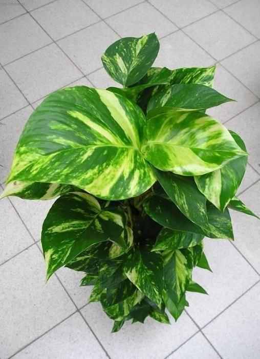 Como cuidar de uma planta jiboia