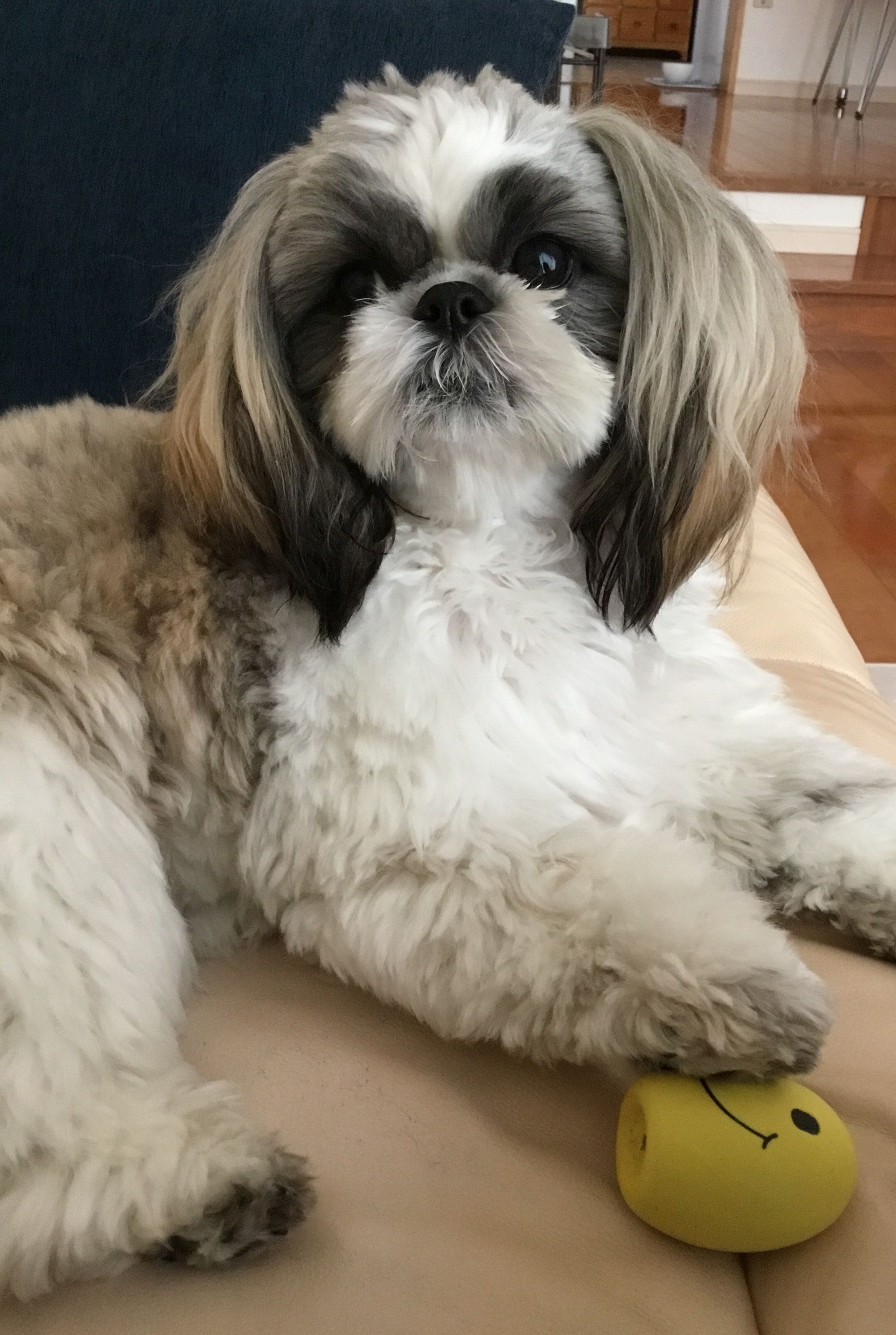 This Is My Egg Don T You Ever Touch It Shih Tzu Cute Animals Dogs