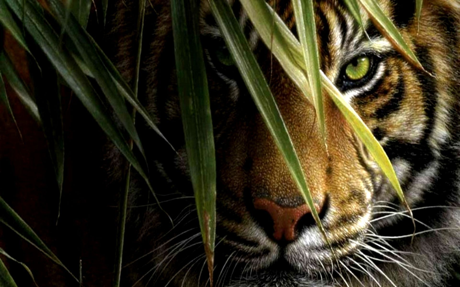 Sumatran tiger in water wallpapers and images wallpapers art