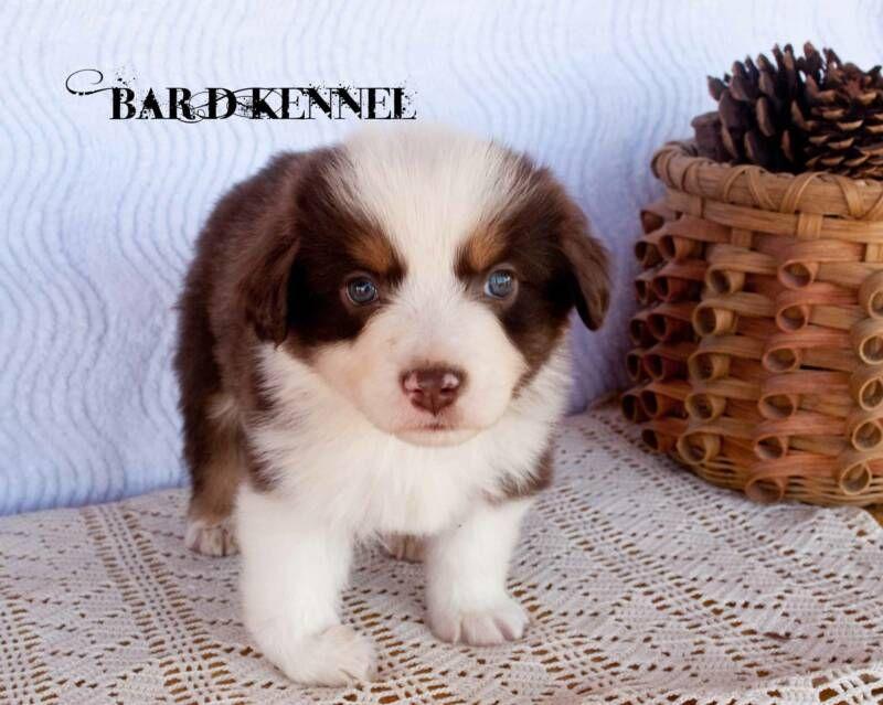 Free To A Good Home He Has A Clubbed Foot But So Sweet Miniature American Shepherd American Shepherd Australian Shepherd Puppies