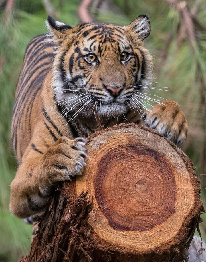 Pin by Suzie Mac Kenzie on Animals Beautiful cats, Big