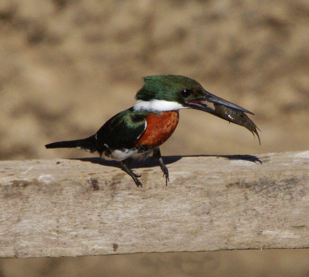 Green Kingfisher (met afbeeldingen) Ijsvogel