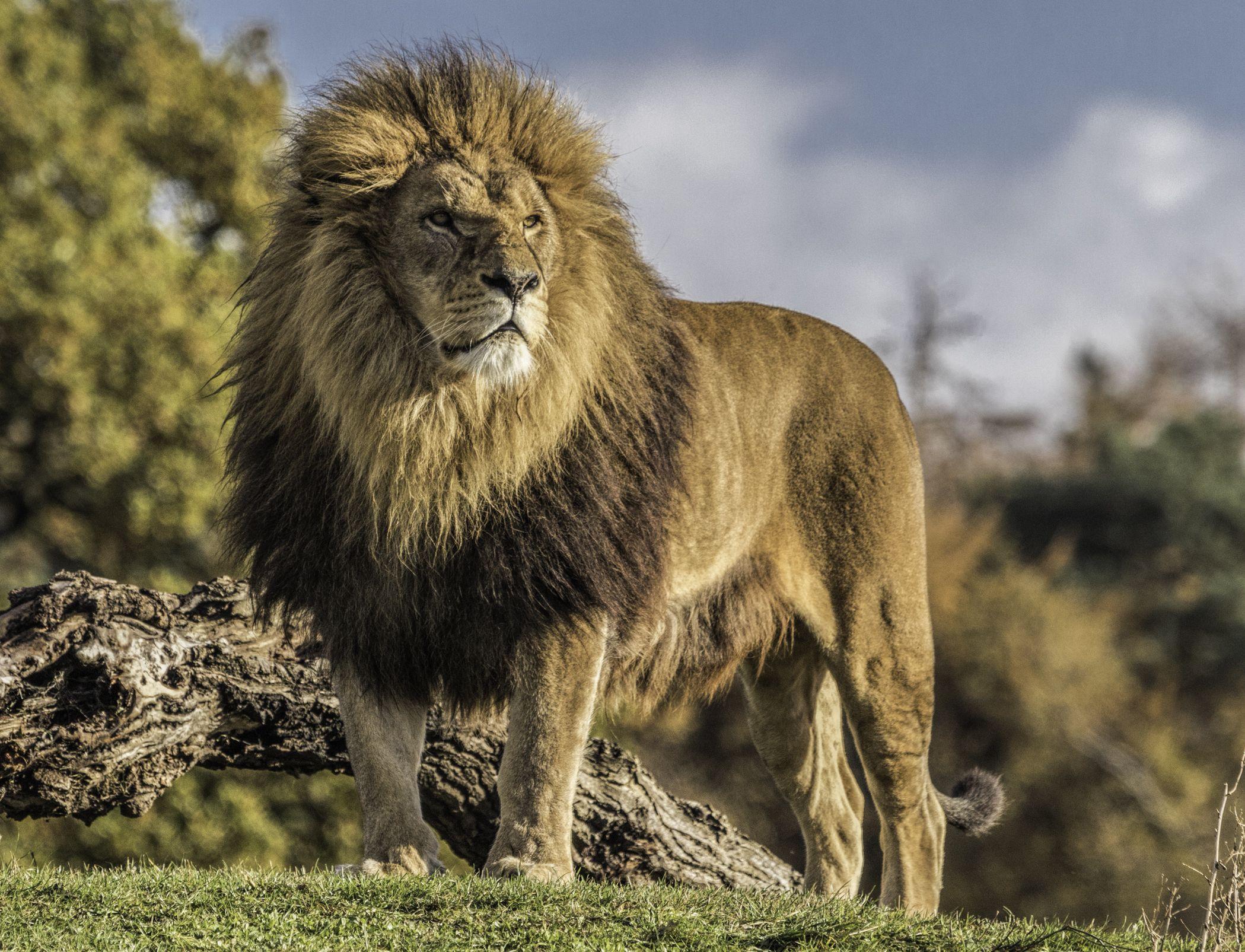 больнице, хорошая картинка льва мансарду своими