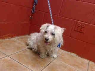 PLEDGES NEEDED FOR RESCUE! SHE IS POSSIBLY BLIND AND HAS A LARGE ABDOMEN. MULTIPLE WOUNDS. I don't have a name yet and I'm an approximately 10 year old female terrier. I am not yet spayed. I have been at the Downey Animal Care Center since December 10, 2014.At my temporary home at D707. https://www.facebook.com/photo.php?fbid=774312255982442&set=pb.100002110236304.-2207520000.1418335825.&type=3&theater
