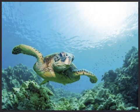 Submarine World Poster Art Print and Frame (Plastic) - Sea Turtle Over Sunlit Coral Reef (20 x 16 inches) 1art1,http://www.amazon.com/dp/B005CSCVR0/ref=cm_sw_r_pi_dp_ujectb0P697MWS33