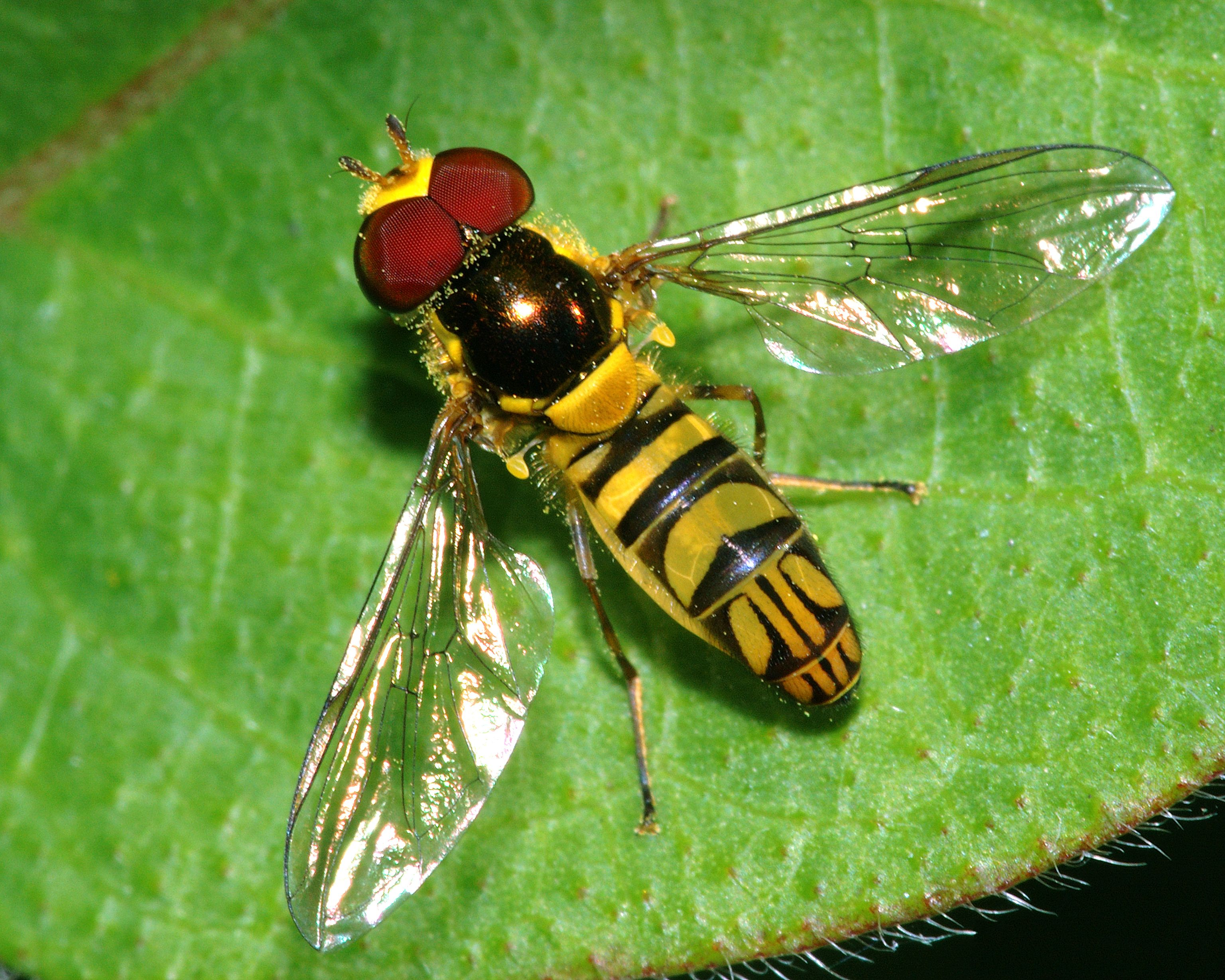 Syrphidae(hover flies): prey on plant pests(aphids, thrips