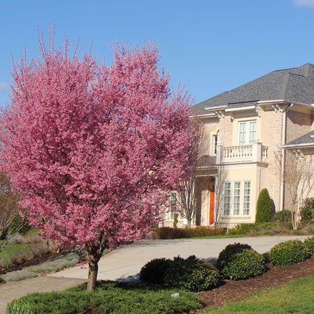 Okame Cherry Tree Fast Growing Trees Flowering Cherry Tree Cherry Blossom Tree