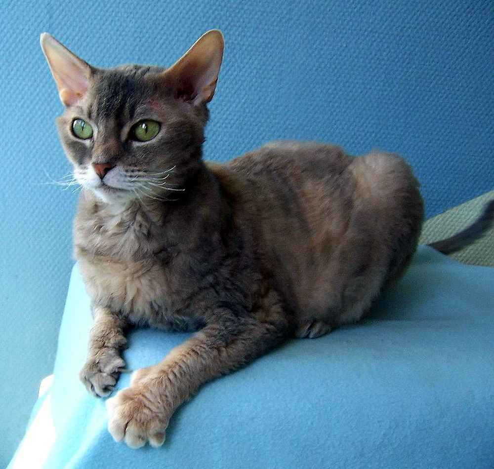 German Rex Cat   Cats   Pinterest   American wirehair, Cat and Laperm