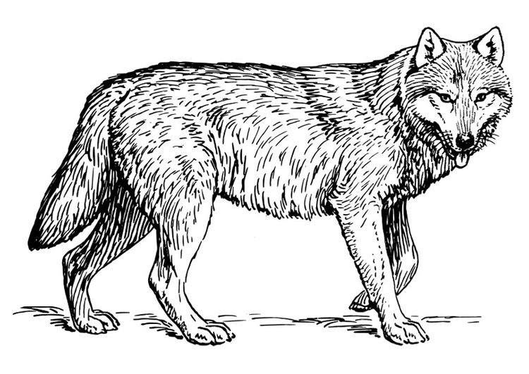 Coloring Page Wolf Wolf Clipart Malvorlagen