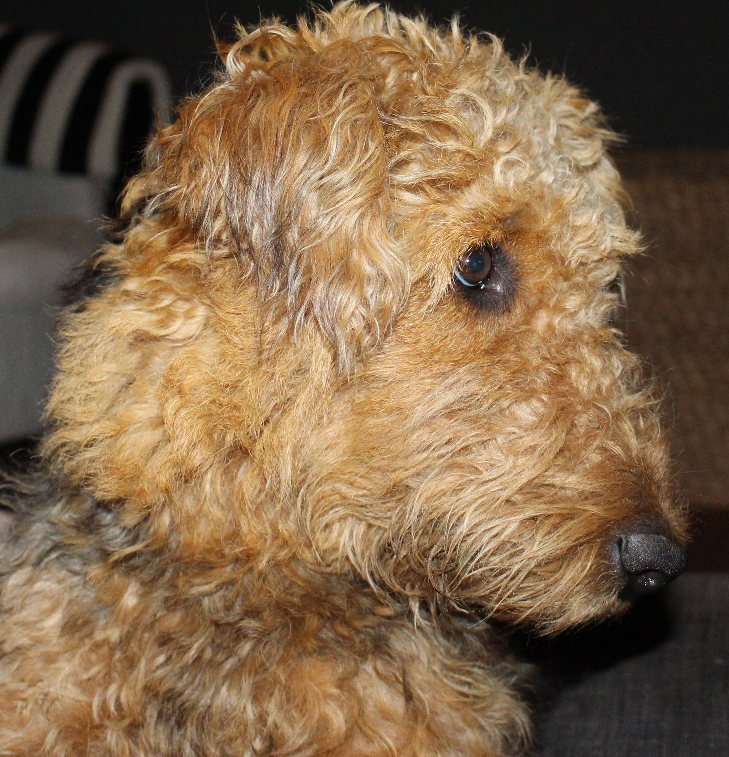 Pin by Pamela Jean on AIREDALES Airedale terrier, Dogs