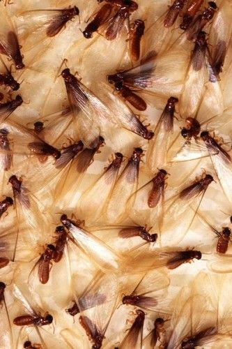 Flying ant season
