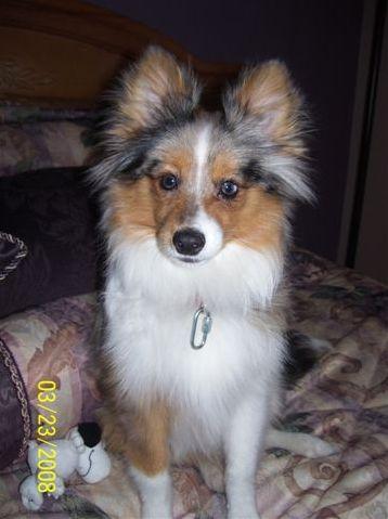 Pomeranian And Sheltie Dog