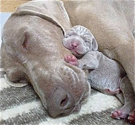 Weimaraner And Her Pup Cute Animals Animals Dog Love