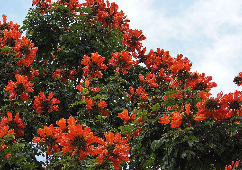 тюльпанное дерево фото в домашних условиях латыни