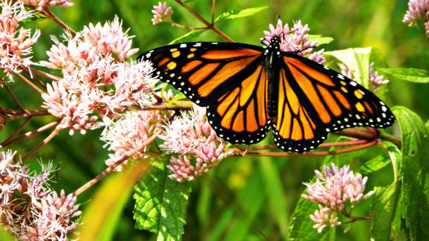 Monarch Migration Mystery -- National Geographic Education ...